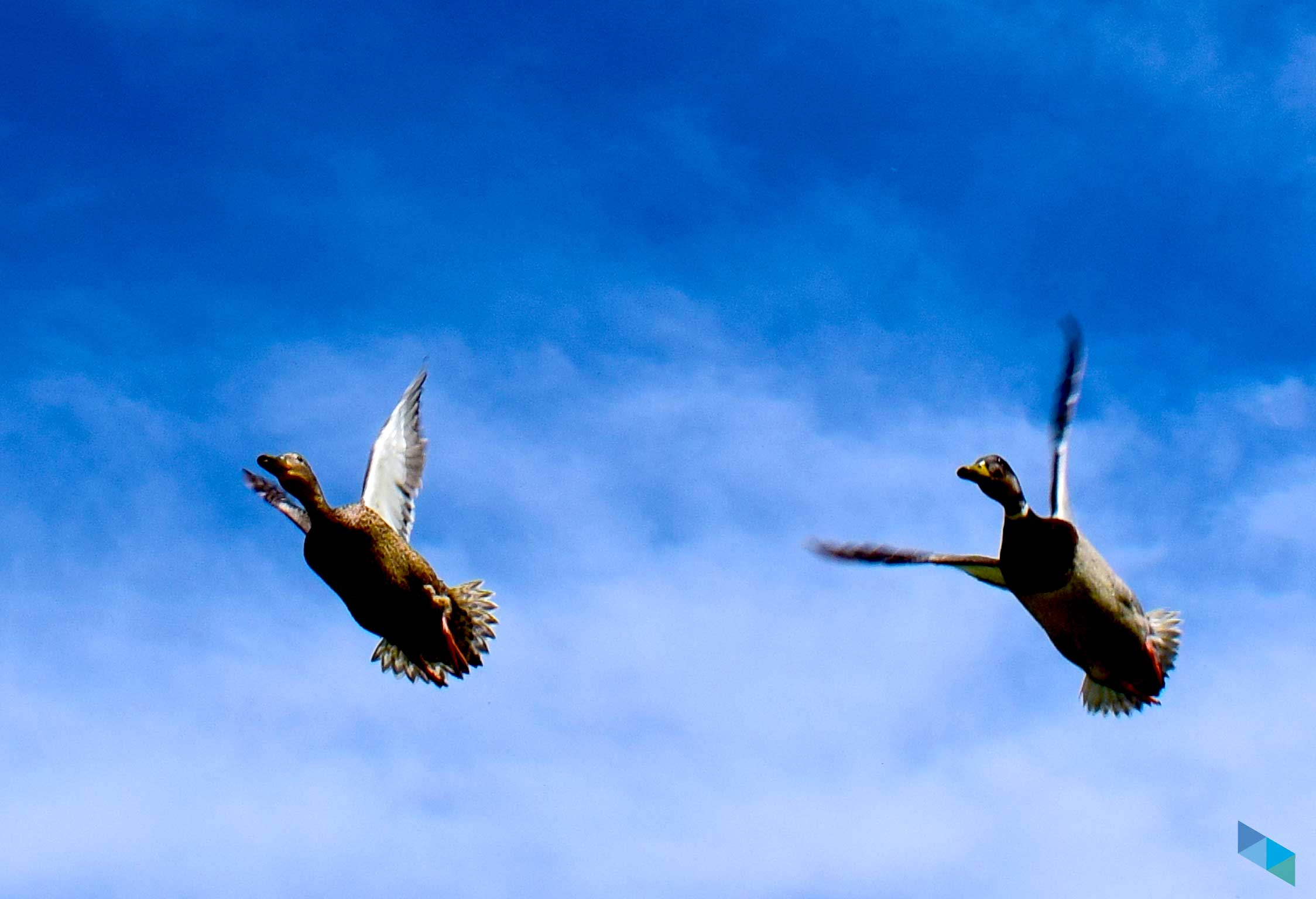 Parque de la Vaguada de las Llamas patos volando