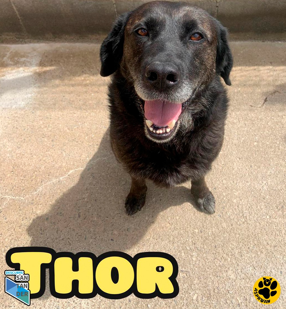 Thor mestizo labrador fila 2
