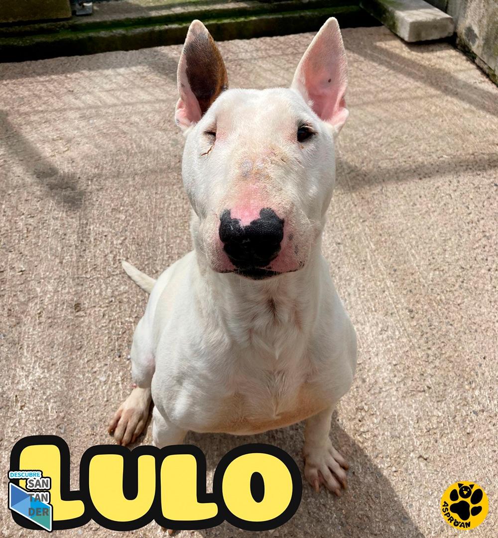 Lulo bullterrier fila 3